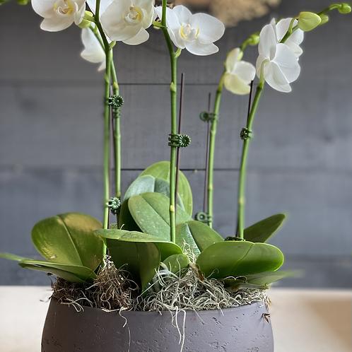 5 Mini orchids Arrangement