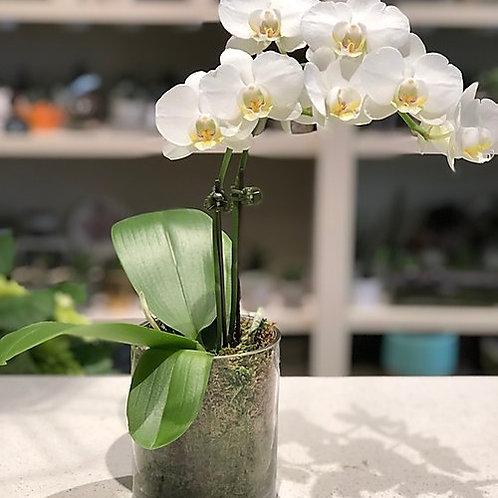 Mini white orchid - Single