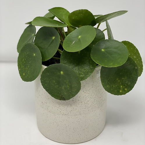 Pilea in a pot