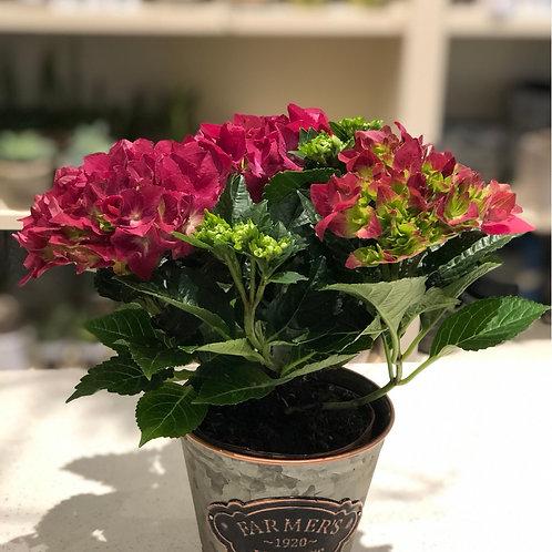 Hydrangea pot -small (each)