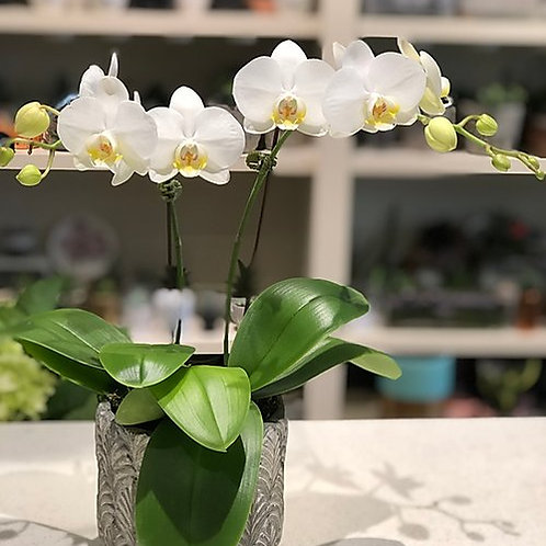 Mini white orchids - Double