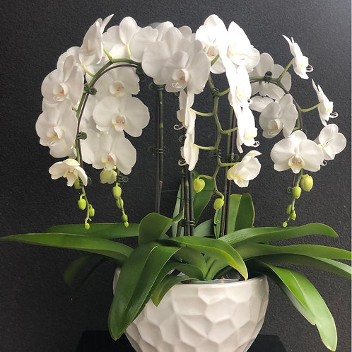 Beautiful Fresh White Orchids plant with 4 Stems