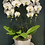 Thumbnail: White Orchid - 4 stems