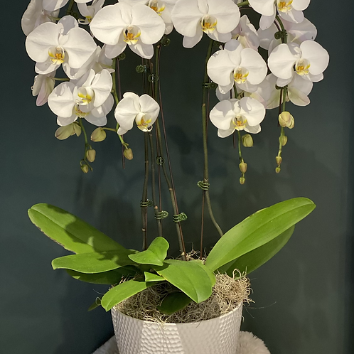 White Orchid - 4 stems