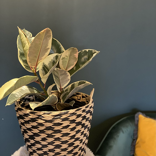Variegated rubber tree in a basket