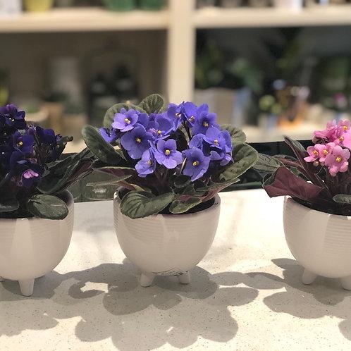 African Violet Trio