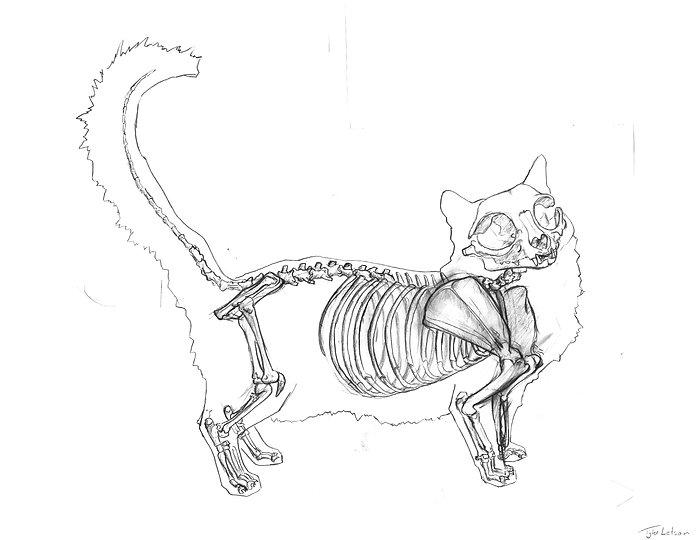 feline_skeleton.jpg