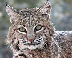 Bobcat Urine