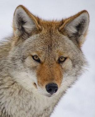 Coyote Urine