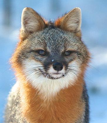 Grey Fox Urine
