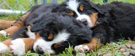 bernese_mountain_dog-1.jpg