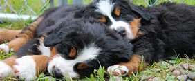 bernese_mountain_dog-1.jpg