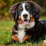 bernese-mountain-dog.jpg