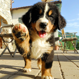 bernese-mountain-dog-puppies-04.jpg