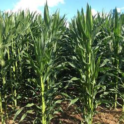 Corn crop #mcarthurfarms #agriculture #farmlife