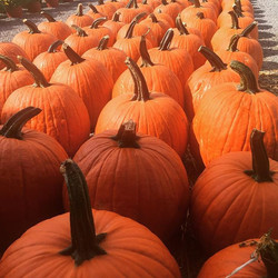 We have pulled a kazillion pumpkins today!  Hope to see you at the farm! #mcarthurfarms #supportingl