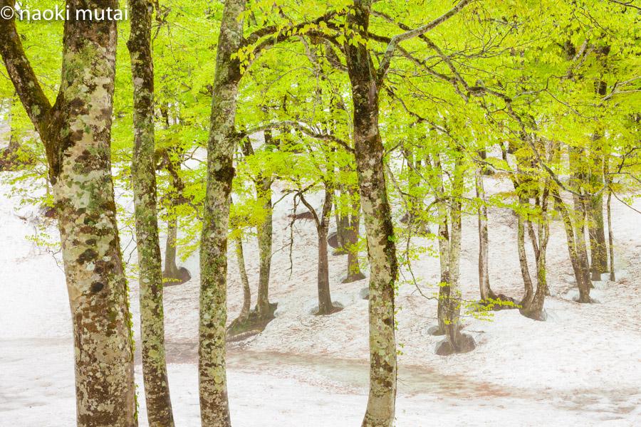 ブナと残雪 雨飾高原