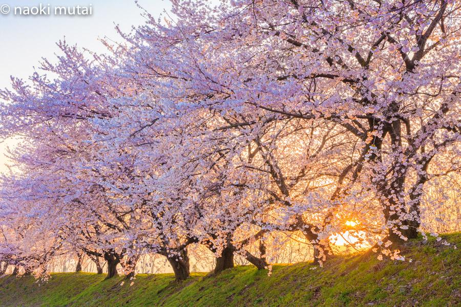 黒沢川堤防の桜並木