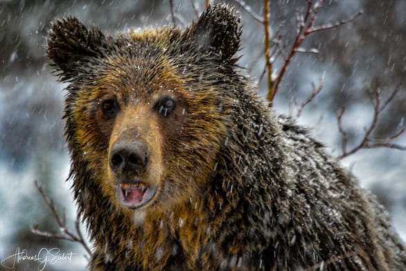 Snowy Grizzly 1