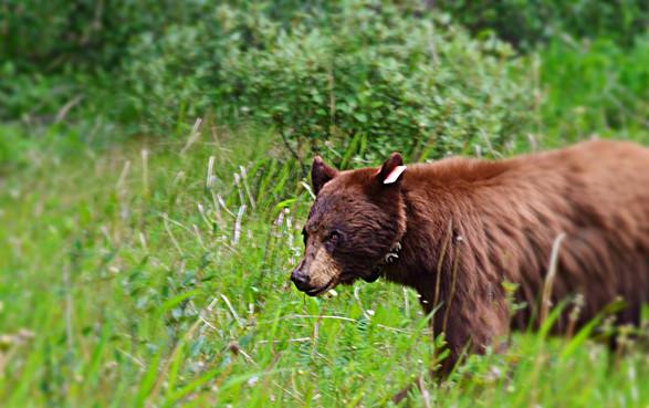 Cinnamon Bear #1704