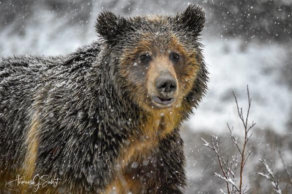 Snowy Grizzly 2