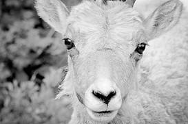 One Mountain Sheep