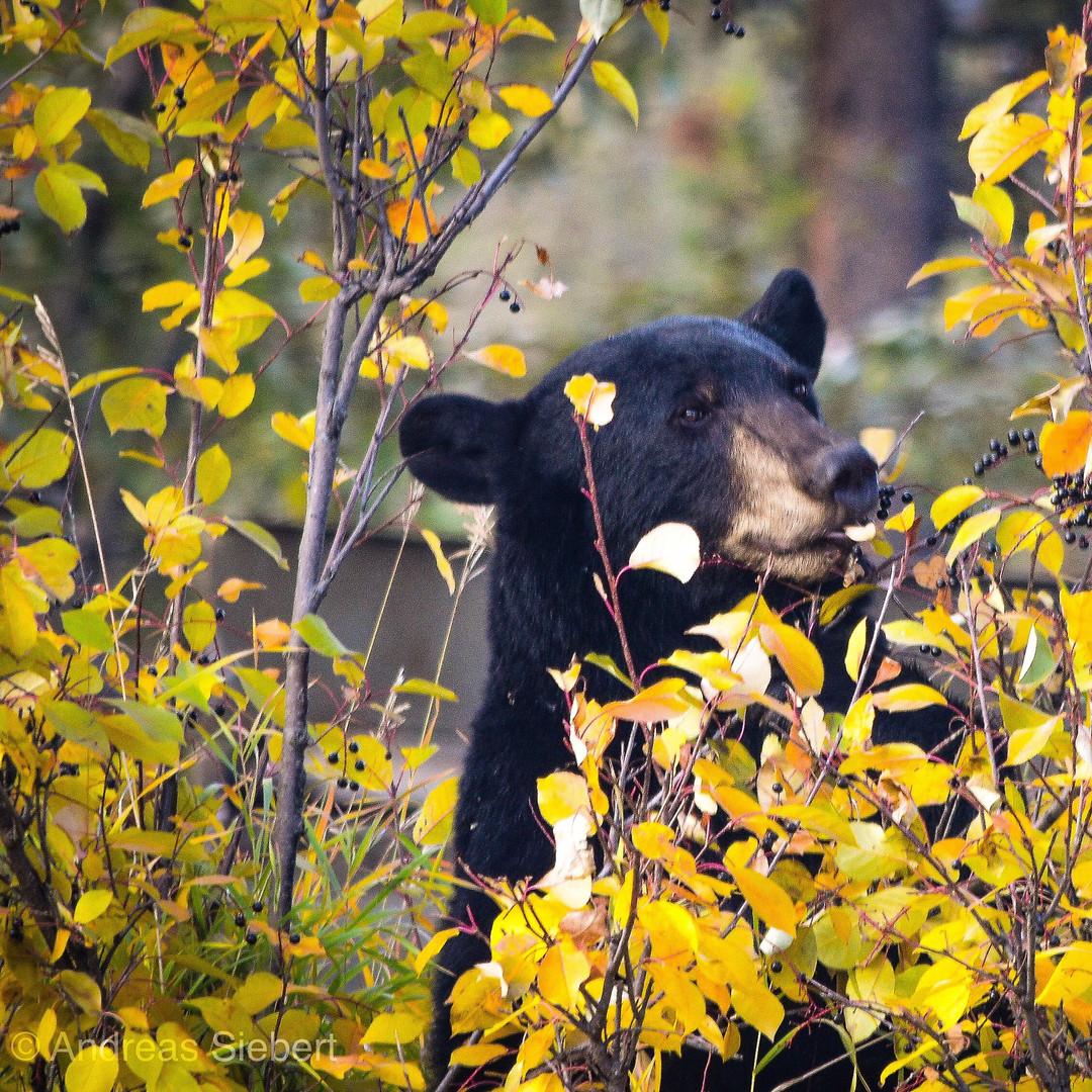 Feeding Black Bear