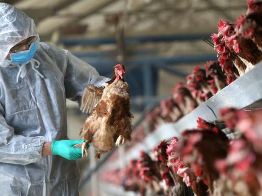 Обережно: грип птиці