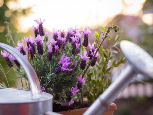 Лаванда на підвіконні і в саду — простий спосіб посадки насіння