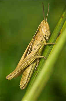 grasshopper very sharp 2.jpg
