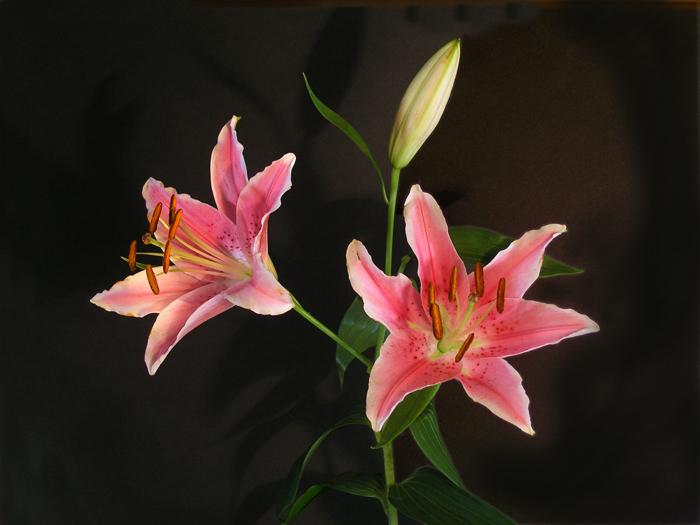 lilyflower2