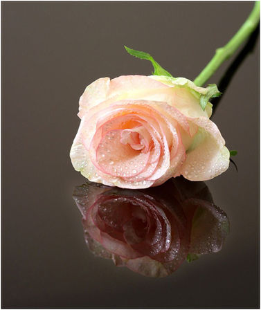 PERFECT ROSE by Marilyn Bliss.jpg