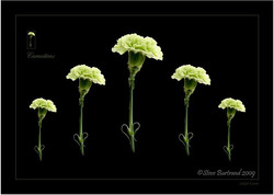 17 Carnation 4985 montage SPS