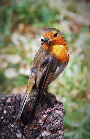 ROBIN WITH INSECT by reg holmes_edited-2