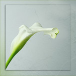 WHITE LILY by Jenny Monk.jpg