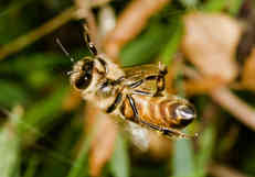 bee in web2.jpg