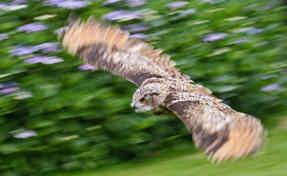 OWL IN FLIGHT by reg holmes.jpg