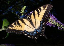 yellowswallowtailtwo