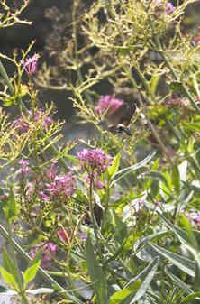 hummingbird-moth-3.jpg