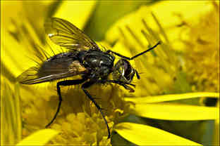 FLY CLEANING OFF THE POLLEN by mick butl