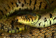 grass snake BY MICK BUTLER.jpg