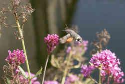 hummingbird-hawkmoth.jpg