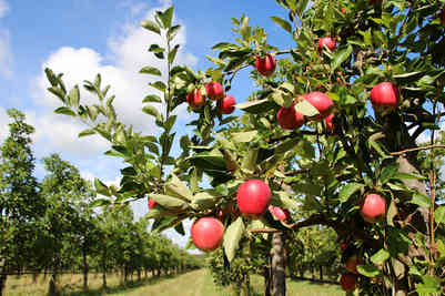 Orchard_16 by Marilyn Bliss.jpg