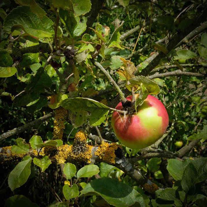 Orchard_29 by Carole Clarke.jpg