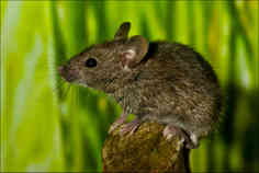 BABY MOUSE by Mick Butler.jpg