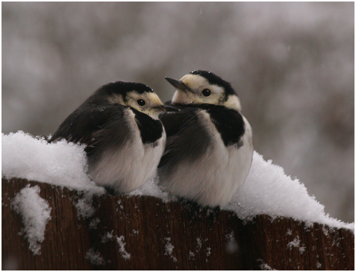 piedwagtails