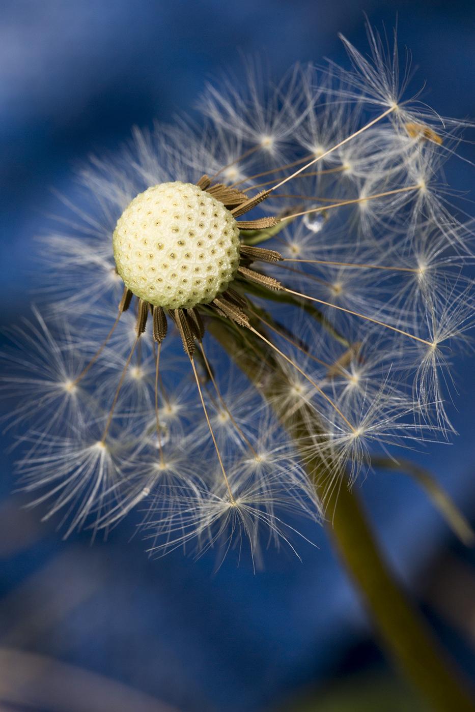 BLUE DANDY by Travers Bean