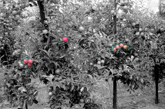 Orchard_03 by Terry Ravell.jpg