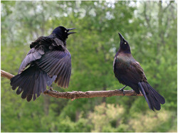 commongrackle