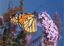 monarchclosed